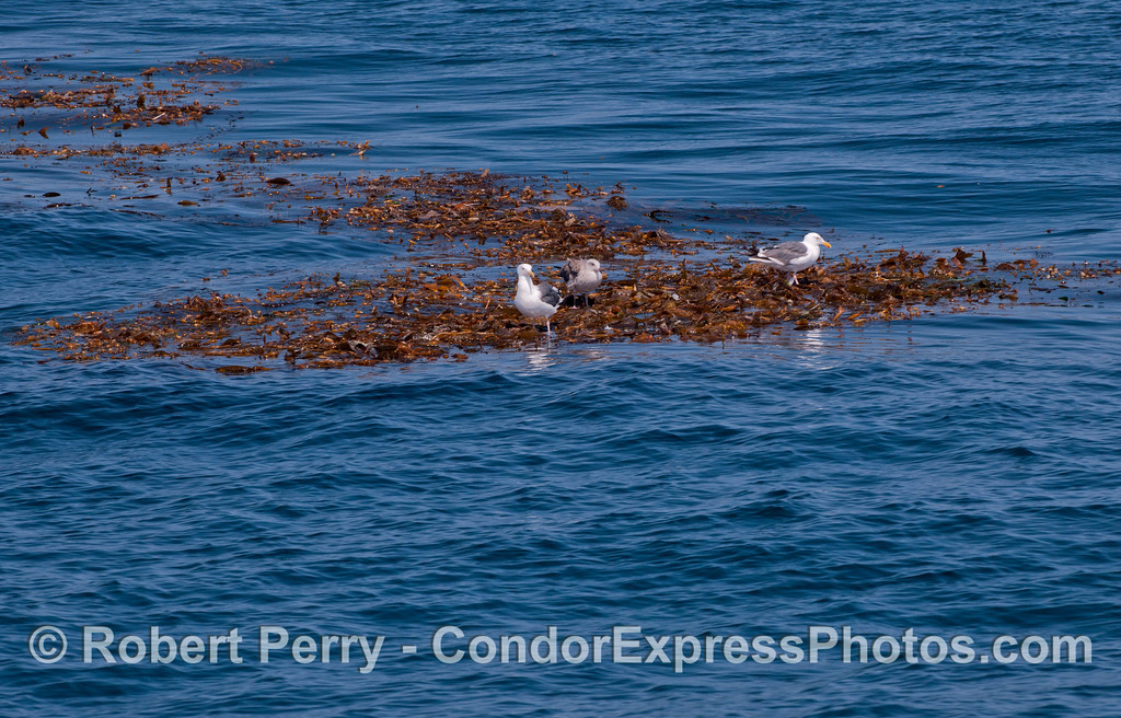 Western gulls  (<em>Larus occidentalis</em>) find a resting place on a drifting giant kelp paddy (<em>Macrocystis pyrifera</em>).