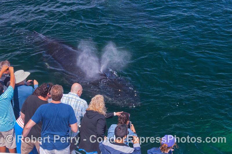 More passengers get sprayed by a friendly Humpback whale (<em>Megaptera novaeangliae</em>).