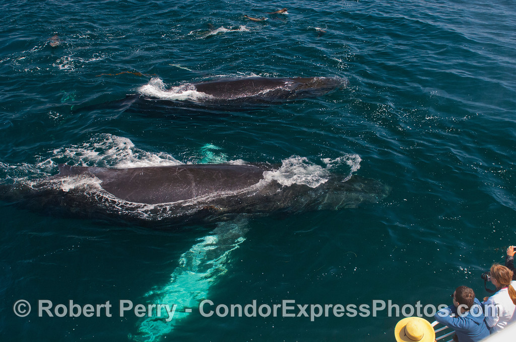 Humpback whales (<em>Megaptera novaeangliae</em>), California sea lions (<em>Zalophus californianus</em>) and lucky Condor Express people.