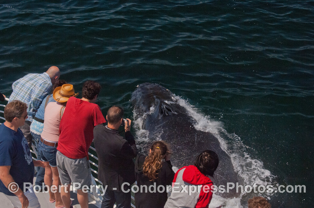 Surprise!  A Humpback whale (<em>Megaptera novaeangliae</em>) and Condor Express people.