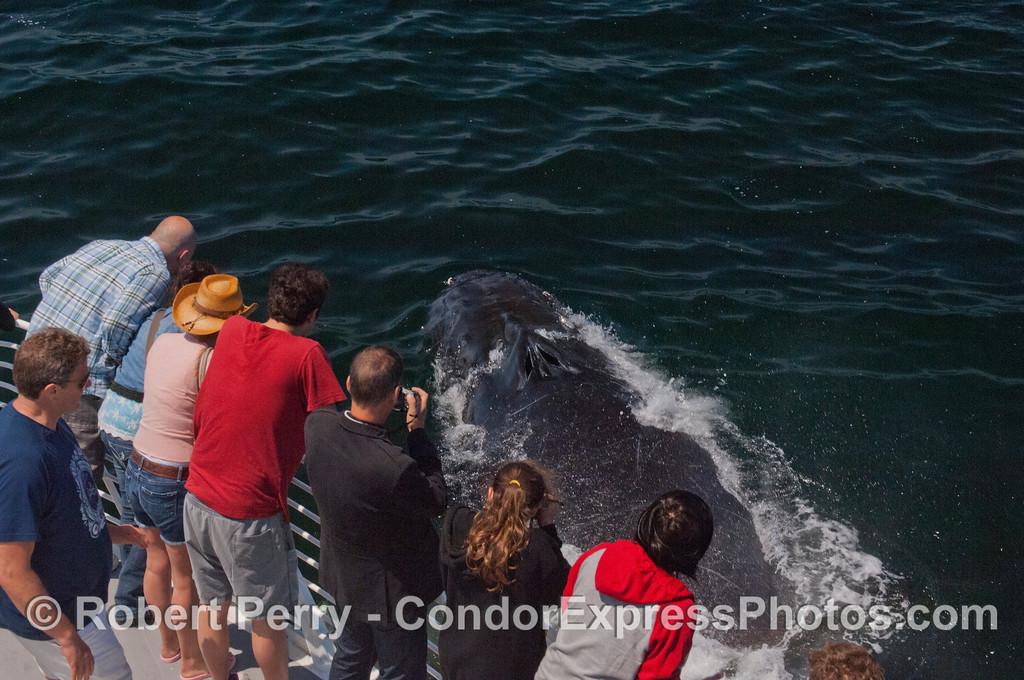 Surprise!  A Humpback whale (<em>Megaptera novaeangliae</em>) and Condor Express people.