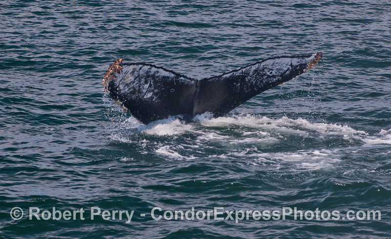3 in a row:  Tail flukes with distinctive identifying pattern - a humpback whale (<em>Megaptera novaeangliae</em>).  How many different whales are there?