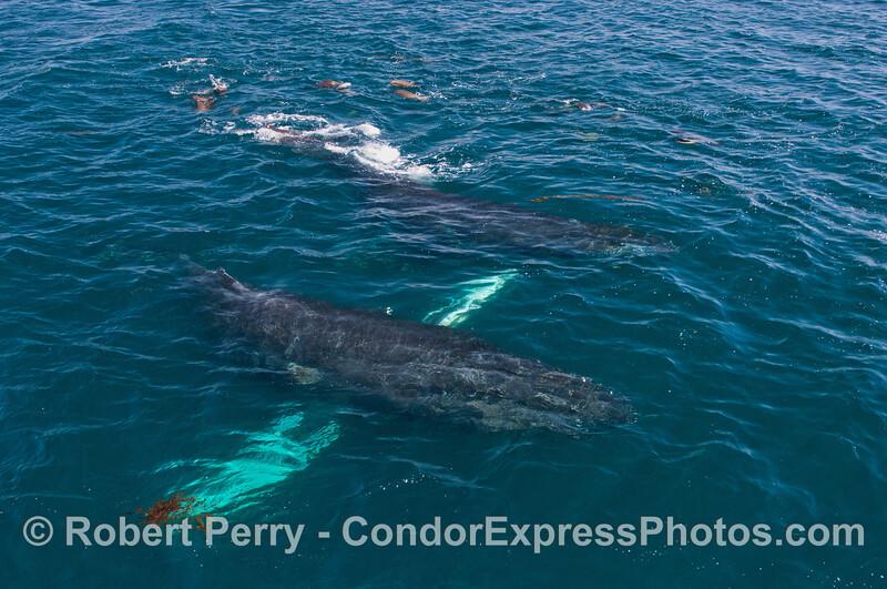 Humpback whales (<em>Megaptera novaeangliae</em>) and California sea lions (<em>Zalophus californianus</em>).