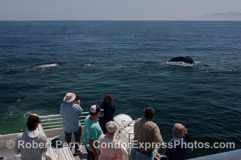 A Humpback whale (<em>Megaptera novaeangliae</em>) tail flukes and Condor Express people.