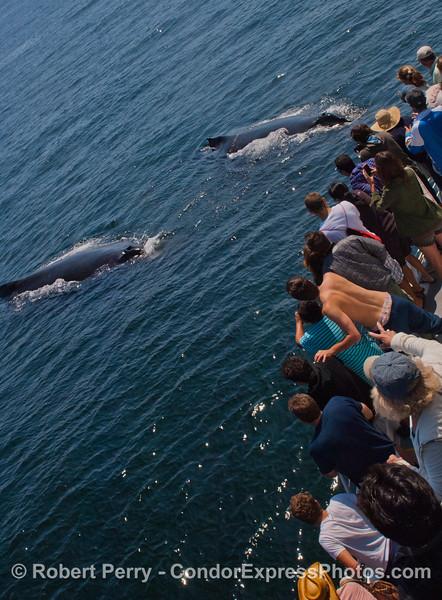 Two Humpback whales (<em>Megaptera novaeangliae</em>) and Condor Express people.