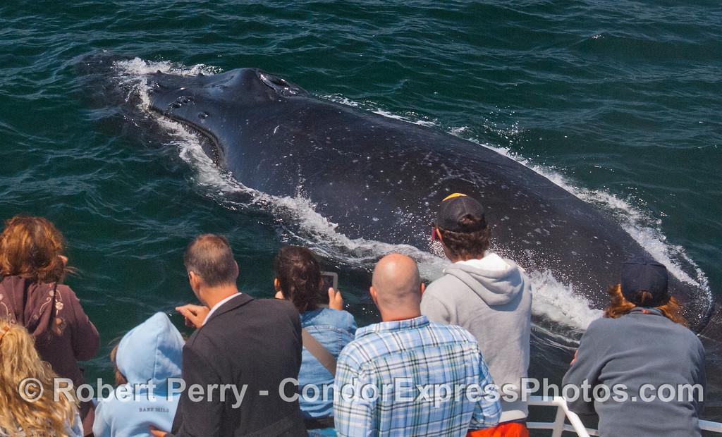 Extreme encounter with a humpback whale (<em>Megaptera novaeangliae</em>).