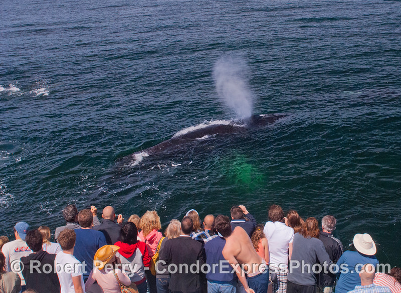 Humpback whale (<em>Megaptera novaeangliae</em>) and Condor Express people.