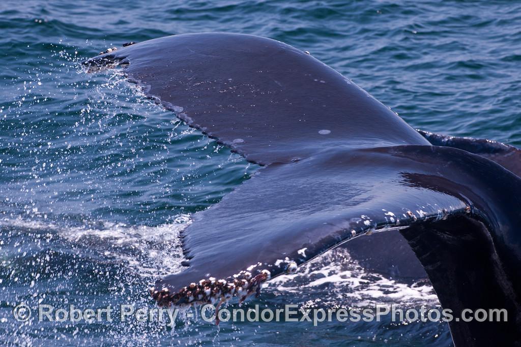 An extreme close-up of a humpback whale (<em>Megaptera novaeangliae</em>) tail fluke.