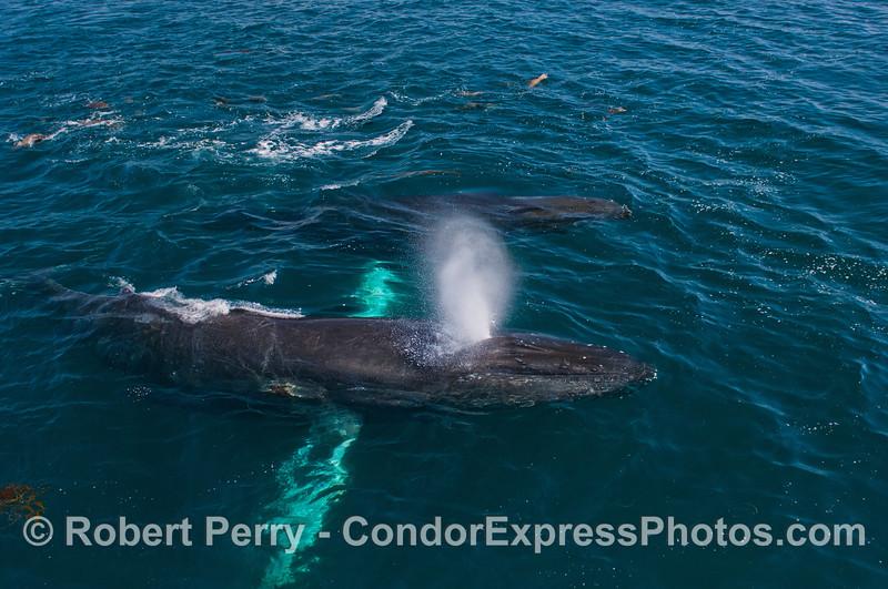 Humpback whales (<em>Megaptera novaeangliae</em>) and a mob of California sea lions (<em>Zalophus californianus</em>).