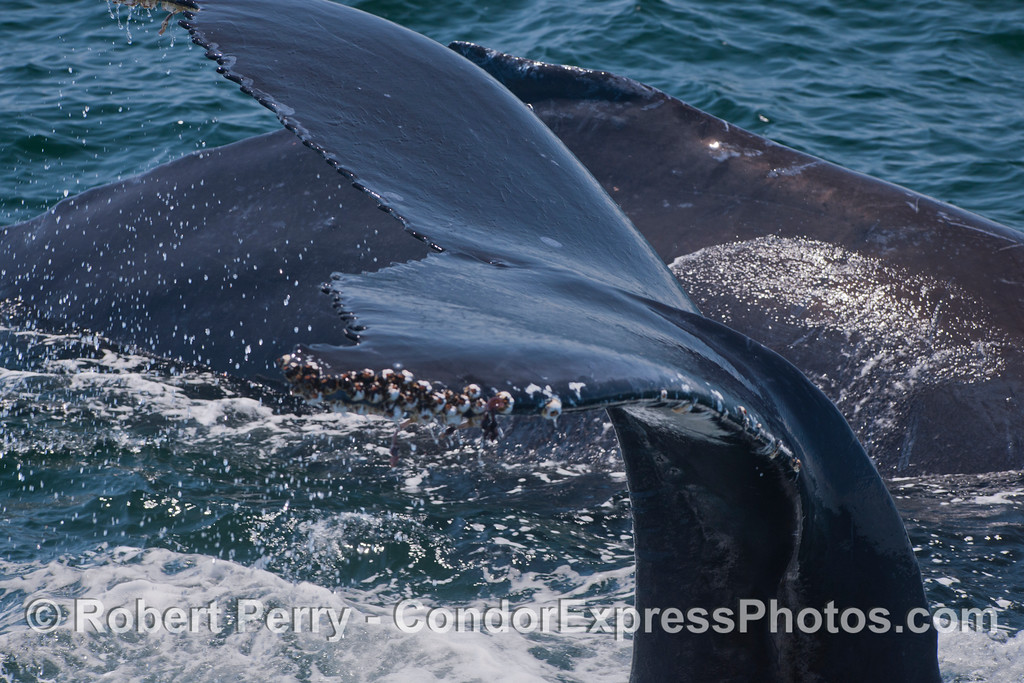 Close-ups of two very friendly humpback whales (<em>Megaptera novaeangliae</em>).