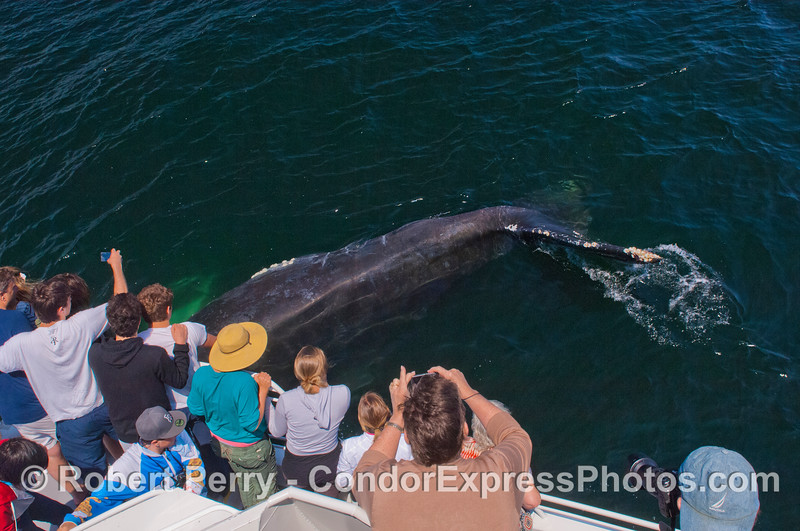 A Humpback whale (<em>Megaptera novaeangliae</em>) tail and Condor Express people.