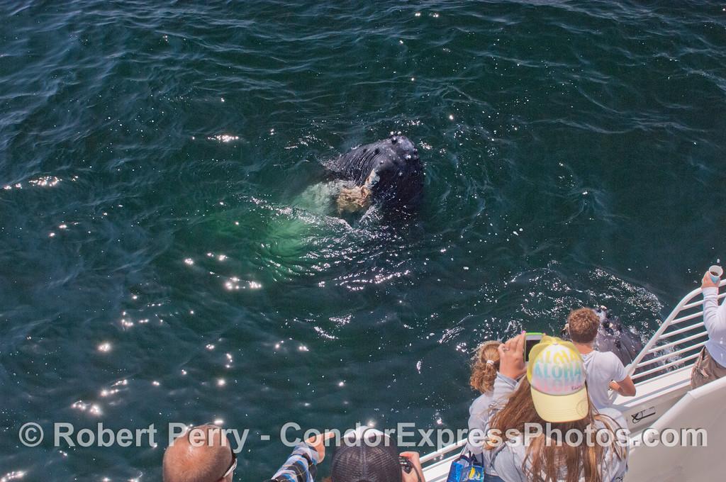 A spy-hopping humpback whale (<em>Megaptera novaeangliae</em>).