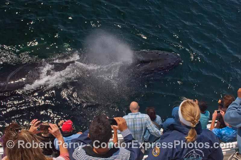 A Humpback whale (<em>Megaptera novaeangliae</em>) and Condor Express people.