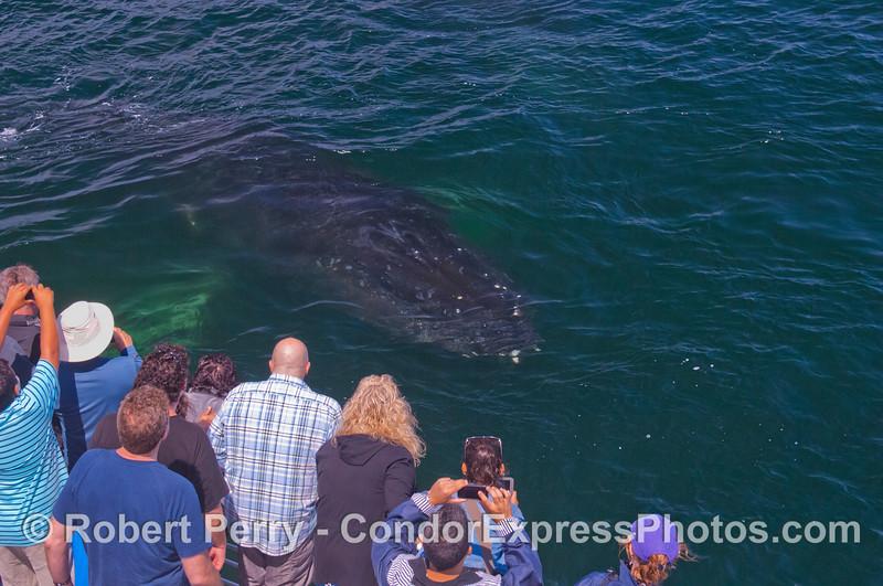 A Humpback whale (<em>Megaptera novaeangliae</em>) underwater.