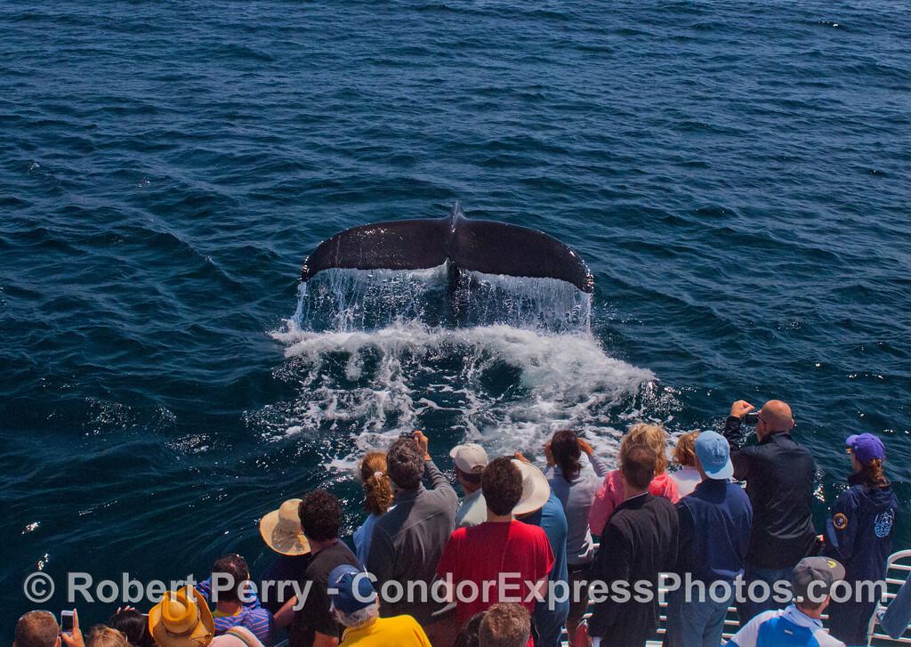 A tail fluke of a Humpback whale (<em>Megaptera novaeangliae</em>).
