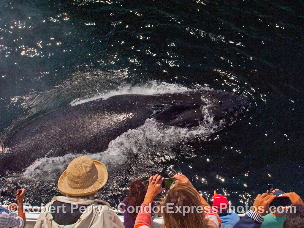 Another surprise surfacing by a friendly humpback whale (<em>Megaptera novaeangliae</em>).
