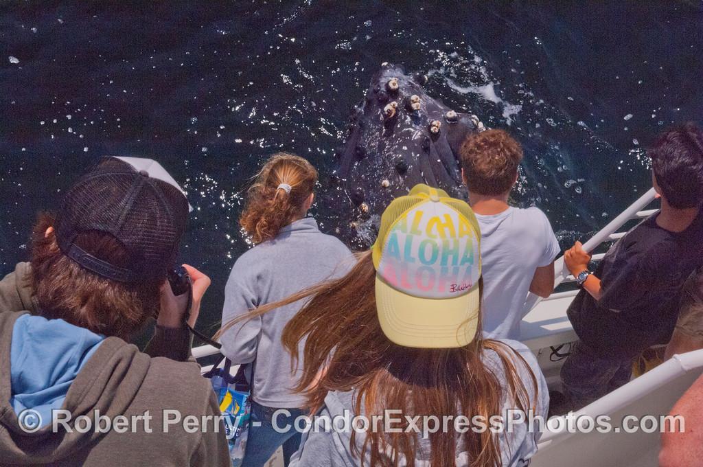 A very close spy-hopping humpback whale (<em>Megaptera novaeangliae</em>) and Condor Express people.