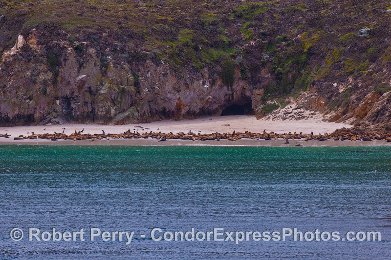 Pinnipeds on a secluded beach west of Cuyler Harbor, San Miguel Island.  The brown animals are California sea lions (<em>Zalophus californianus</em>).