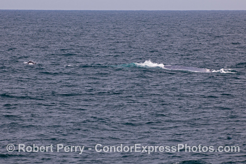 A giant blue whale (<em>Balaenoptera musculus</em>) is escorted by a small pod of Dall's porpoise (<em>Phocoenoides dalli</em>).