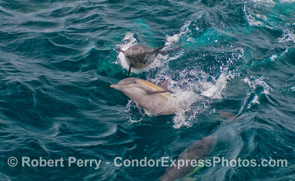 Part of a series in which 2 playful long-beaked common dolphins (<em>Delphinus capensis</em>) pull some shenanigans in the waves.  Horizontal format version.