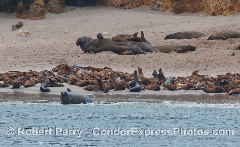 Pinnipeds on a secluded beach west of Cuyler Harbor, San Miguel Island.  The large animals on the dry sand in back are northern elephant seals (<em>Mirounga angustirostris</em>), and the (by comparison) small brown animals are California sea lions (<em>Zalophus californianus</em>).  Sea lions are seen climbing on, and sleeping on the backs of giant elephant seals.
