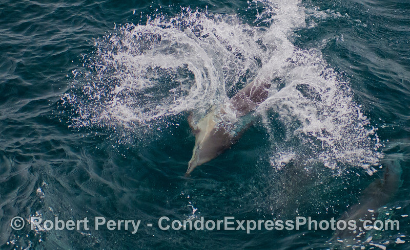 Part of a series in which playful long-beaked common dolphins (<em>Delphinus capensis</em>) pull some shenanigans in the waves.  Horizontal format version