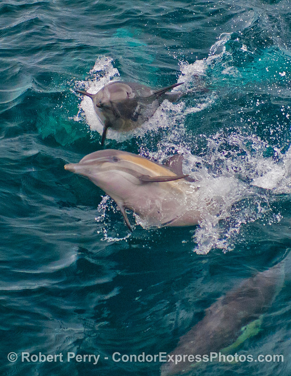 Part of a series in which 2 playful long-beaked common dolphins (<em>Delphinus capensis</em>) pull some shenanigans in the waves.  Vertical format version.