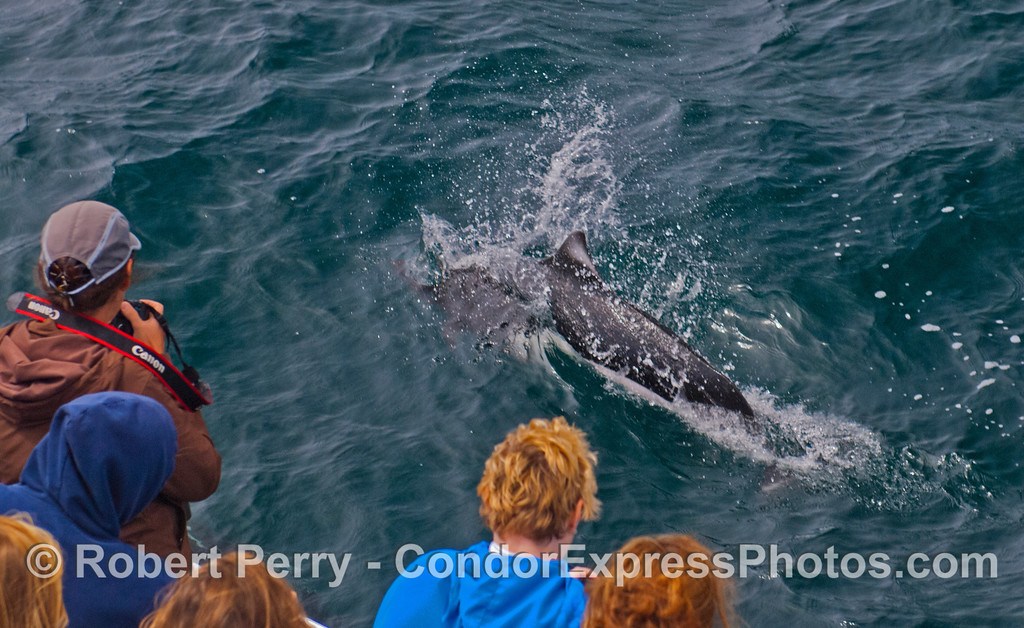 Condor Express people get a great close up view of a Dall's porpoise (<em>Phocoenoides dalli</em>).