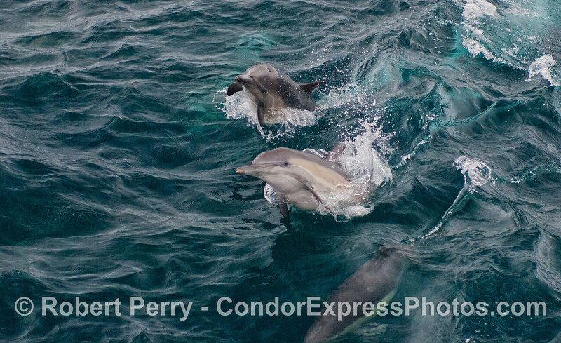 Part of a series in which 2 playful long-beaked common dolphins (<em>Delphinus capensis</em>) pull some shenanigans in the waves.  Horizontal format version