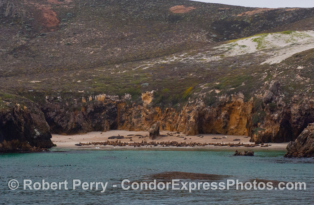 Pinnipeds on a secluded beach west of Cuyler Harbor, San Miguel Island.  The large animals on the dry sand in back are northern elephant seals (<em>Mirounga angustirostris</em>), and the (by comparison) small brown animals are California sea lions (<em>Zalophus californianus</em>).