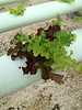 Trihead lettuce is grown using three different seeds instead of just one.