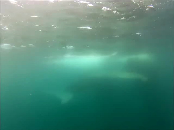 "Two humpback whales, one is ""Rope,"" filmed underwater as they swam by the Condor Express."