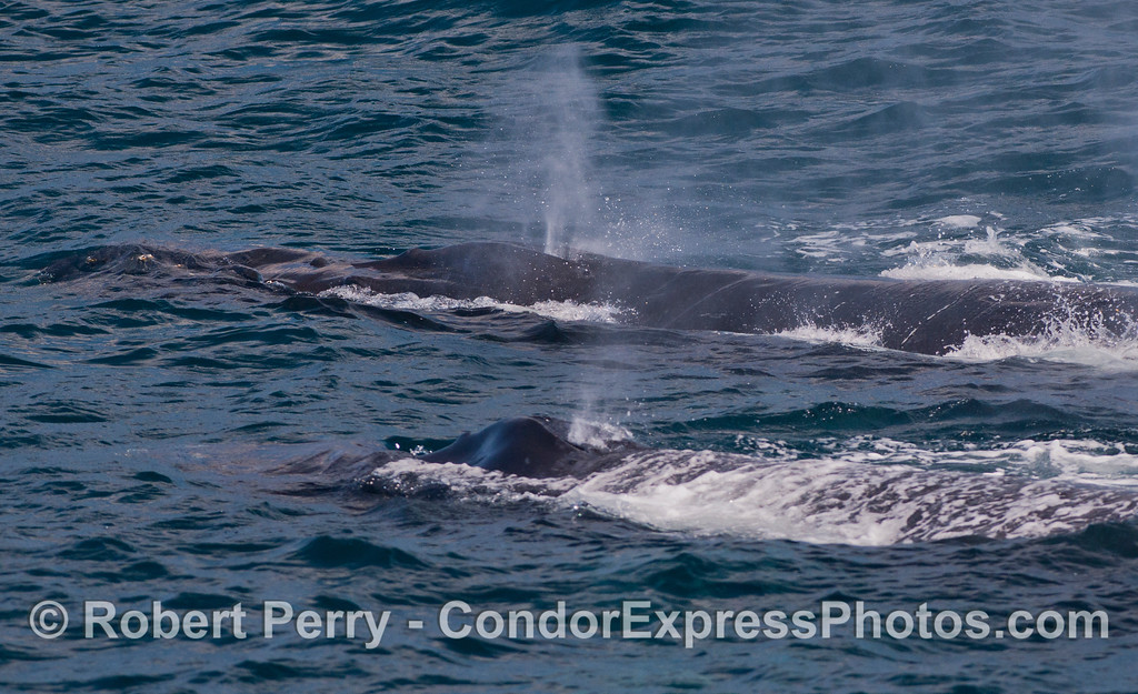 Two humpback whales (Megaptera novaeangliae) side by side.
