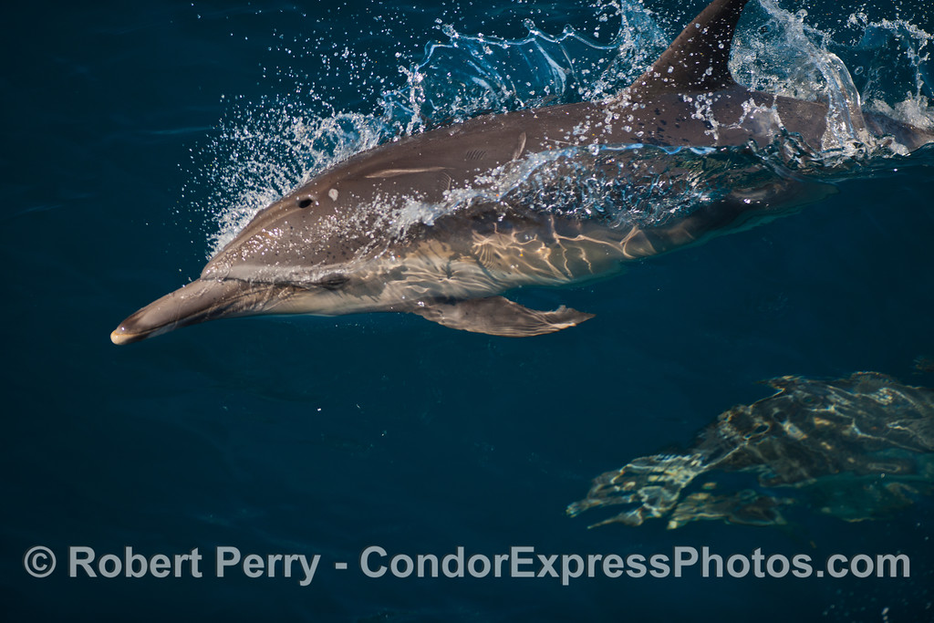 A long-beaked common dolphin (Delphinus capensis).