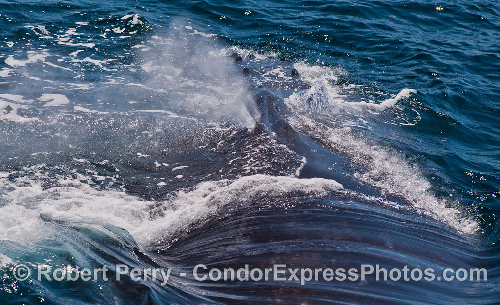 A humpback whale (Megaptera novaeangliae) exhales through only one nostril, as do the great yoga-masters.