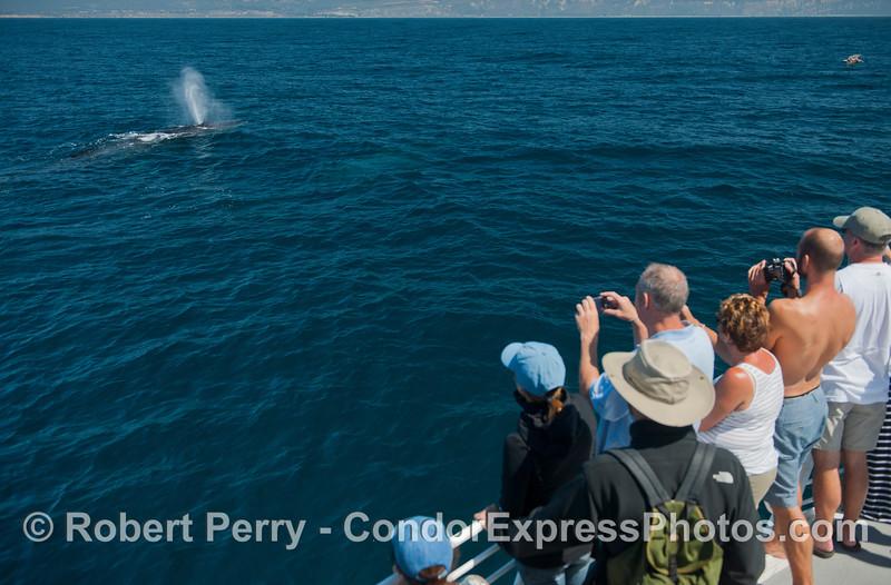 One of two humpback whales (<em>Megaptera novaeangliae</em>) spouts for the Condor Express.