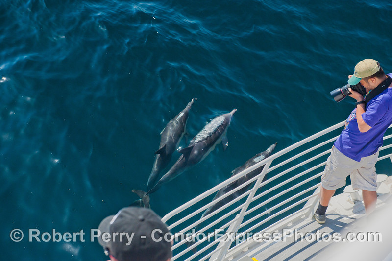 A photographer gets a great shot of two friendly long-beaked common dolphins (<em>Delphinus capensis</em>).