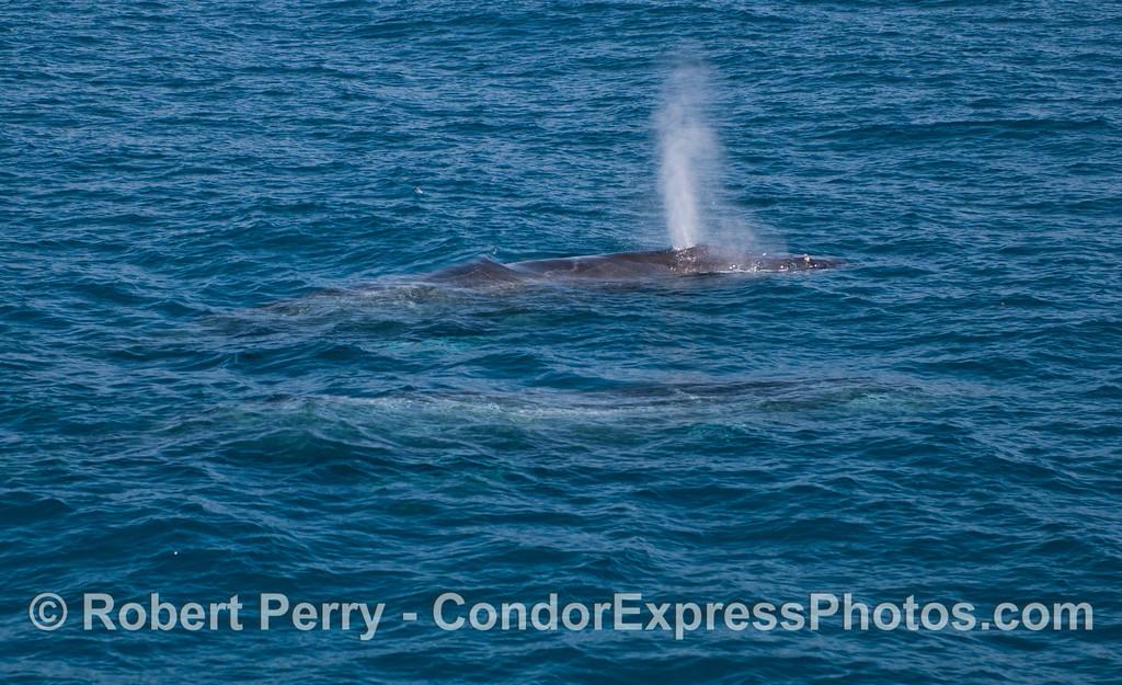 Two humpback whales (<em>Megaptera novaeangliae</em>).