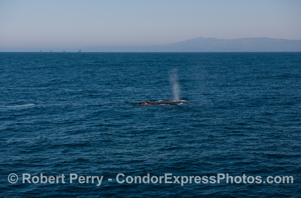 Humpback whales (<em>Megaptera novaeangliae</em>), oil rigs and the Santa Ynez mountains behind Santa Barbara.