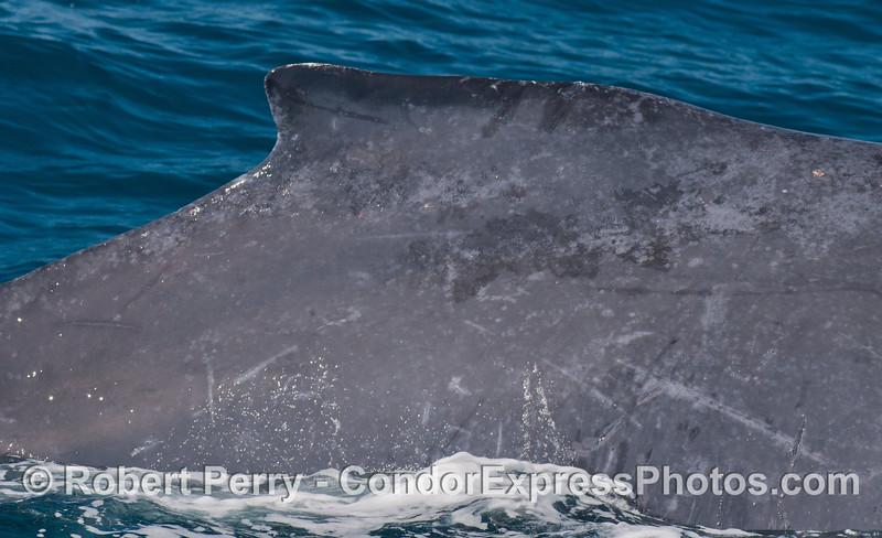 "The right flanks and ""hump"" of a humpback whale (<em>Megaptera novaeangliae</em>)."