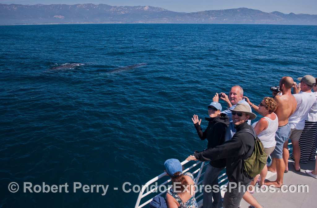 Friendly Condor Express people wave as two humpback whales (<em>Megaptera novaeangliae</em>) approach the boat.