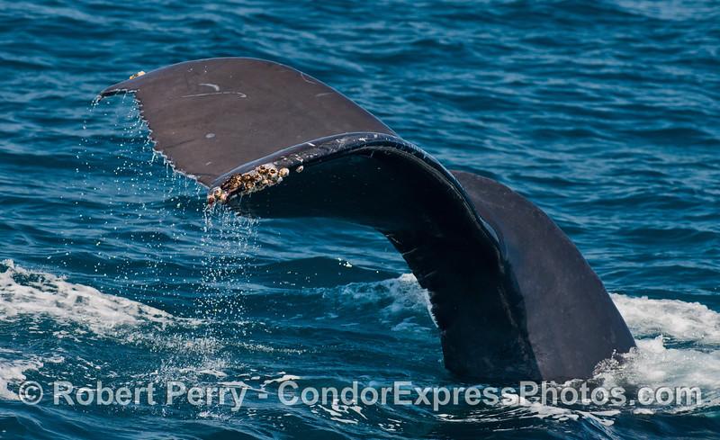 Tail flukes waterfall - a humpback whale (<em>Megaptera novaeangliae</em>) dives deep.