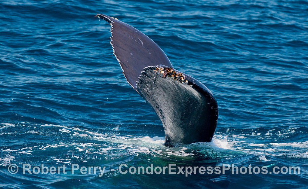 Humpback whale (<em>Megaptera novaeangliae</em>) tail flukes on their way down.