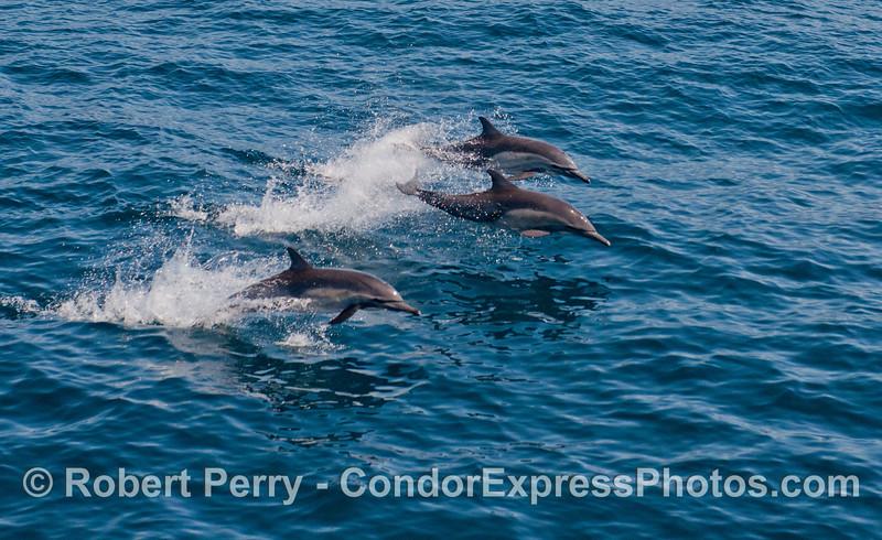 Three airborn long-beaked common dolphins (<em>Delphinus capensis</em>).