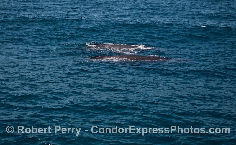 A large wave with two humpback whales (<em>Megaptera novaeangliae</em>).