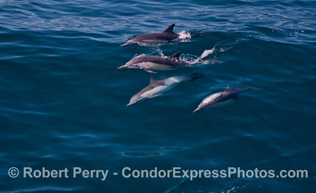 A cadre of four long-beaked common dolphins (<em>Delphinus capensis</em>) with one looking up at the camera.