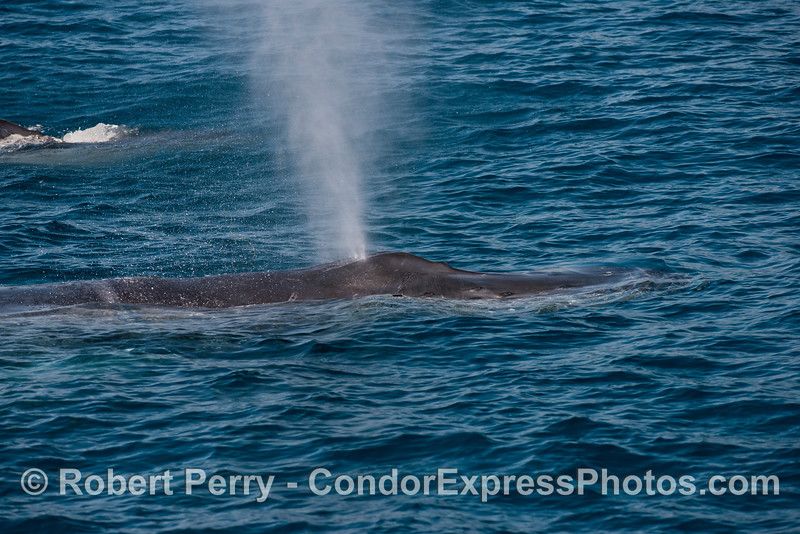 "Our friend, the humpback whale (<em>Megaptera novaeangliae</em>) named ""Rope,"" sends up a column of smoke."