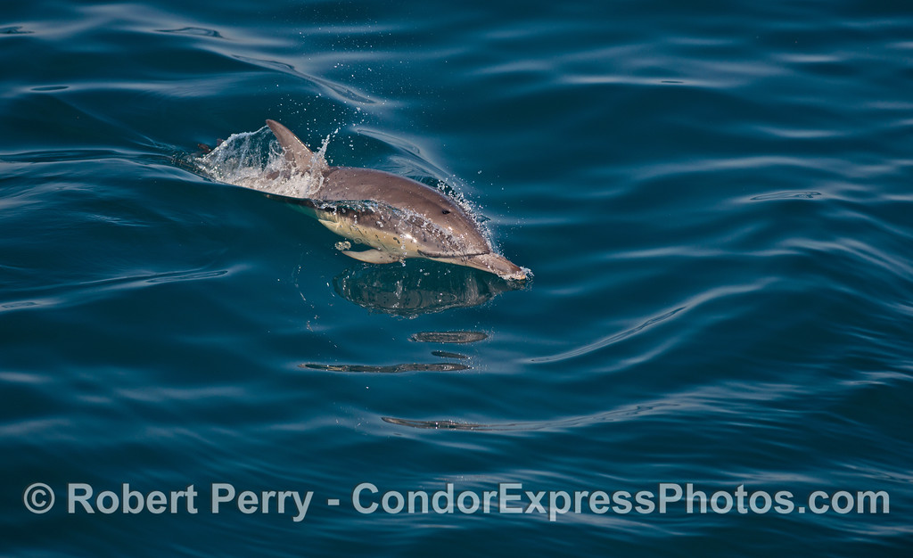 A long-beaked common dolphin (<em>Delphinus capensis</em>) rides the small ocean waves.