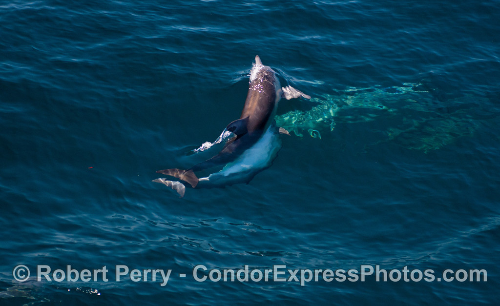 Two long-beaked common dolphins (<em>Delphinus capensis</em>) mating.