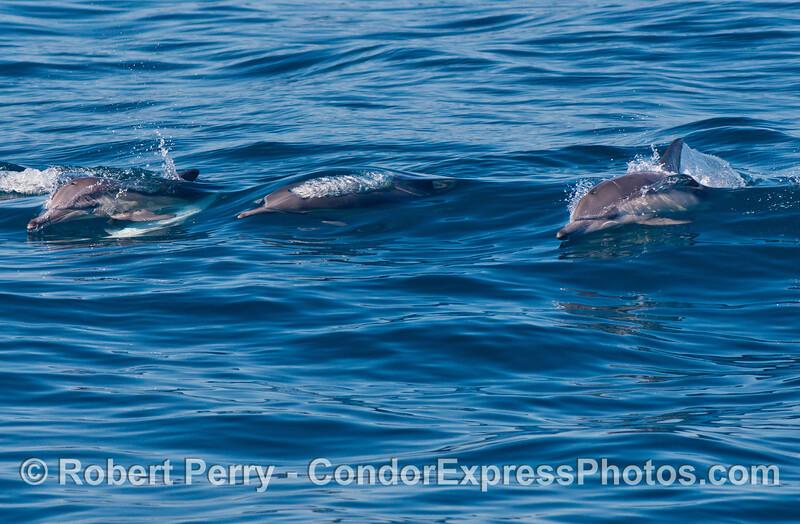 Long-beaked common dolphins (<em>Delphinus capensis</em>) cavorting.